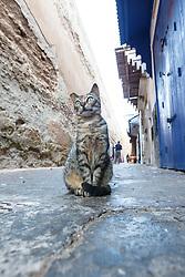Cat in alley of medina, Essaouira, Morocco.