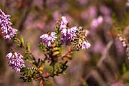 honeybee on flowering common heather (Calluna vulgaris) in the Wahner Heath near Telegraphen hill, Troisdorf, North Rhine-Westphalia, Germany.<br /> <br /> Honigbiene auf bluehender Besenheide (Calluna vulgaris) in der Wahner Heide am Telegraphenberg, Troisdorf, Nordrhein-Westfalen, Deutschland.
