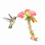 Fine Art - Black-Chinned Hummingbird in flight with flower