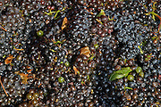 Vineyard, Close up of a pile of freshly picked grapes