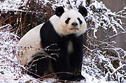 Giant Panda, Ailuropoda melanoleuca, sitting in snow,  Wolong Research and Conservation Centre, Sichuan (Szechwan) Province Central China, can handle bamboo with great dexterity with extended sesamoid bone in wrist which acts like false thumb, reserve, br