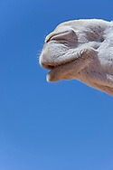 Mouth of a white dromedary (camel), close-up, against blue sky.