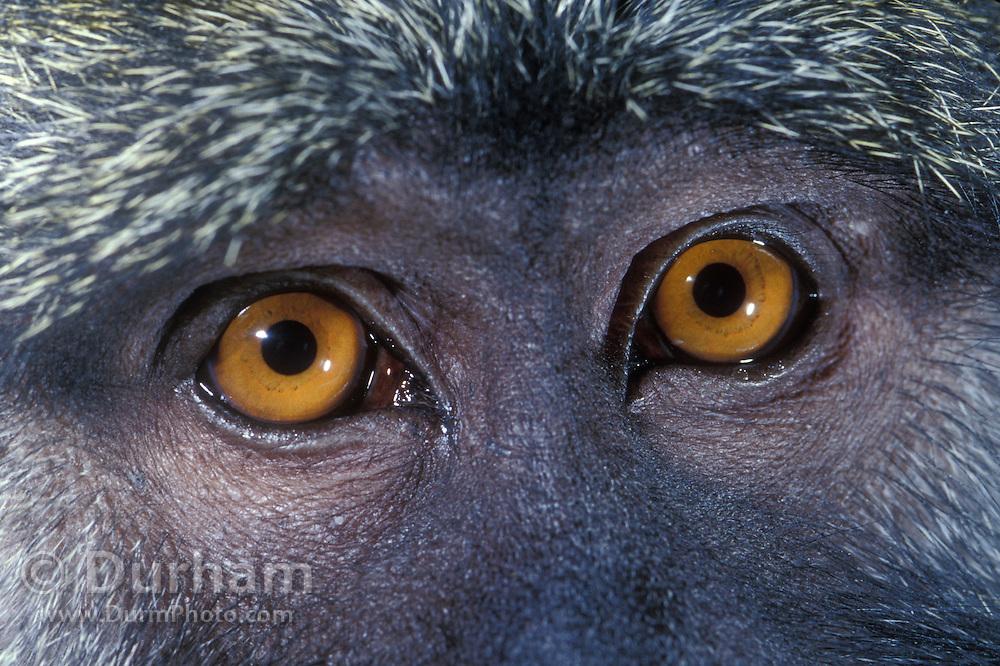 Detail of the eyes of a Allen's Swamp Monkey (Allenopithecus nigroviridis), Captive - Utah. Range: Zaire Congo.