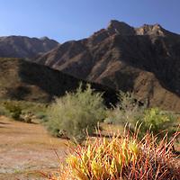 USA, California, San Diego County. Barrel Cactus in bloom at Anza-Borrego Desert State Park.