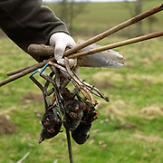 Gary Vasey, Vermin Controller holding moles caught in traps, Newby Hall estate and gardens, Ripon, North Yorkshire, UK