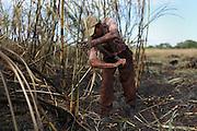 Gonzálo Blanco, 53, from Xaibé, cuts sugar cane at the plot of local BSCFA member Leocadio Hoy. Belize Sugar Cane Farmers Association (BSCFA), Xaibé, Corozal, Belize. January 22, 2013.