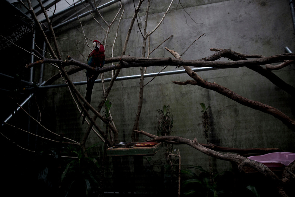"""Green Winged Macaw. Wales, 2017. © Craig Redmond<br /> This series explores the unnatural captivity of wild animals in zoos - 'False Environments' where the paintings of trees, rocks and other landscapes may fool the viewing public but do nothing to benefit the lives of animals who will never experience freedom. <br /> """"What is most striking about the indoor, on-display penguins is how un-penguined they have become: denuded of their worlds, their lives.""""<br /> Randy Malamud, Professor of English at Georgia State University, USA, and author of Reading Zoos: Representations of Animals and Captivity"""