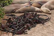 Marine iguanas (Amblyrhyncus cristatus) and Galapagos sealions (Zalophus wollebaeki)<br /> Punta Suarez, Española (Hood) Island, Galapagos Islands<br /> ECUADOR.  South America<br /> Marine iguans are Endemic to Galapagos. They are the only true marine lizard in the world. On Hood Island they are more colourful than other islands.<br /> There are approximately 16,000 individual sealions in the archipelago and numbers are increasing. Males are much larger than females, weighing up to 250kg compared with 100kg in the females. They spend a large amount of time hauled up on sandy beaches. The males establish territories which are savegely defended from rivals. Young bachelors and unsuccessful bulls then leave the area and establish bachelor colonies on the outskirts of female haul-outs. Reproduction occures mainly in the Garua season between July and December and will vary from Island to Island. Sealions are highly thigmotactic (seeking body contact) and loaf around in piles on the beaches. They are extremely efficient hunters, preferring sardines to other fish, so spend a considerable time resting or at play. Underwater they are well streamlined, lithe and acrobatic.