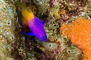 Fairy Basslet (Gamma loreto)<br /> BONAIRE, Netherlands Antilles, Caribbean<br /> HABITAT & DISTRIBUTION: In or near recesses.<br /> Florida, Bahamas & Caribbean.