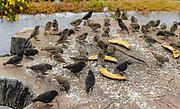 Darwin finches (Geospiza spp.) feeding at Santa Cruz, Galapagos.