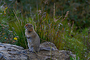 Wildlife photographs of Arctic Ground Squirrel (Spermophilus parryii) from Denali National Park of The Alaska Range, AK