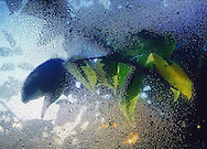 Humidity creates condensation on a window, against which the green leaves of a tree are pressed and backlit