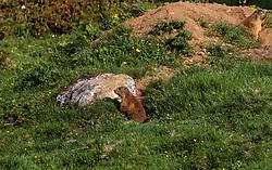 THEMENBILD - Murmeltiere, aufgenommen am 15. Juni 2017, Kaprun, Österreich // marmots on 2017/06/15, Kaprun, Austria. EXPA Pictures © 2017, PhotoCredit: EXPA/ JFK
