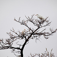 A rarely seen cattle heron stands in a tree just below a larger Great Egret at Sandy Hook