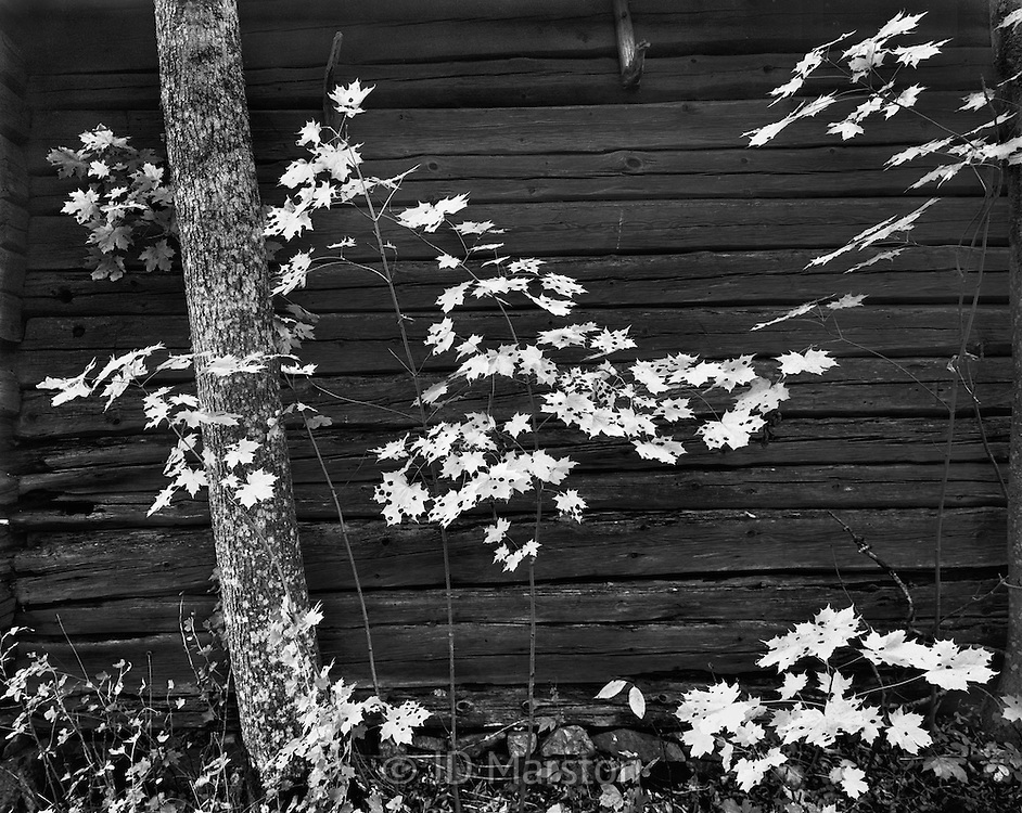 Maple Leaves Against Wall, Vaddo, Sweden