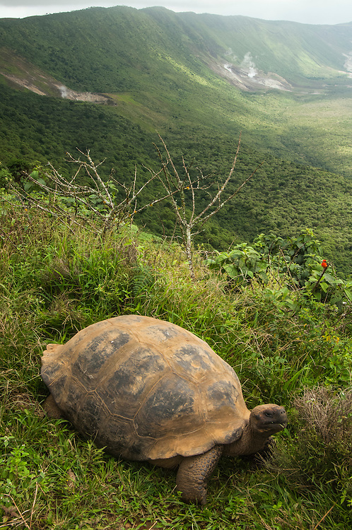 Galapagos Giant Tortoise (Geochelone elephantophus vandenburghi) on rim of volcano.<br /> Alcedo Volcano, Isabela Island<br /> GALAPAGOS ISLANDS<br /> ECUADOR.  South America<br /> One of 11 sub-species survising in the islands. This is an example of the dome-shaped sub-species. Alcedo hosts over half the 15,000 tortoises left in Galapagos. All tortoises were heavy hunted for food in the past. Dome-shaped males are double the size of the females. Males stay mainly in the highlands while females migrate towards the coast when they need to lay eggs.