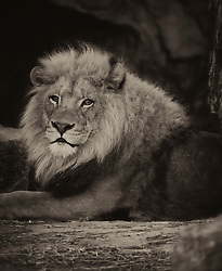 The lion is one of the four big cats in the genus Panthera and a member of the family Felidae. With some males exceeding 250 kg in weight, it is the second-largest living cat after the tiger. This beautiful cats can be seen at the Saint Louis Zoo.