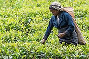 Sri Lanka, tea growing