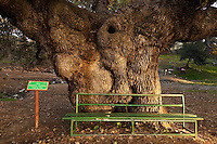 860 years old oak and a bench, Pyros tis Regainas (Queens castle)  Akamas Peninsula, Cyprus