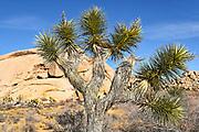 Joshua Tree National Park Landscape