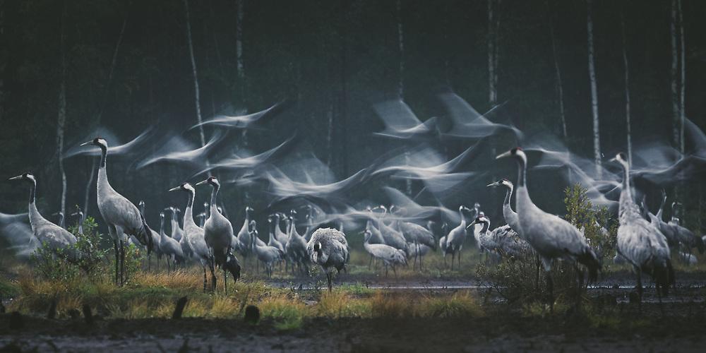 Roosting common cranes (Grus grus) taking flight in a stopover site at early morning, Kemeri National Park (Ķemeru Nacionālais parks), Latvia Ⓒ Davis Ulands | davisulands.com