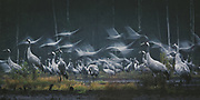 Roosting common cranes (Grus grus) taking flight in a stopover site at early morning, Kemeri National Park (Ķemeru Nacionālais parks), Latvia Ⓒ Davis Ulands   davisulands.com