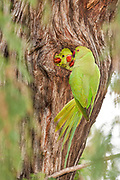 Israel, wild Rose-ringed Parakeet (Psittacula krameri), AKA the Ringnecked Parakeet Chicks are fed in tree hole. The Rose-ringed Parakeet has established feral populations in various parts of the world including Israel, competes with the local wildlife and is considered a pest