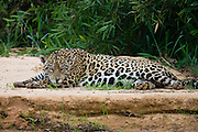 A large jaguar (Panthera onca) rests along a river's edge in early evening,Mato Grosso, Pantanal, Brasil,South America