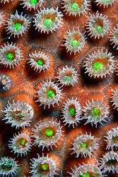 star coral extends polyps to feed on plankton at night, Montastrea sp., Tarpon Reef, Cayman Brac, Caribbean Sea, Atlantic Ocean