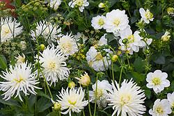 'Dahlia 'Neva Lotus Blanca Y Verde' and 'Furka'