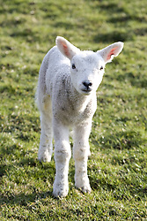 July 21, 2019 - Little Lamb (Credit Image: © John Short/Design Pics via ZUMA Wire)