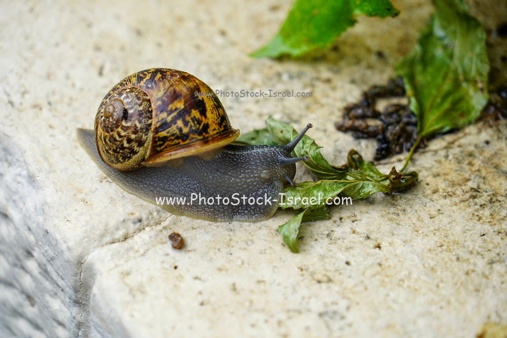 Snail (Helix engaddensis) crawls on a rock. Helix engaddensis is a species of snail common in the Levant, both in Mediterranean, desert and montane climates. It is smaller than the closely related European Garden snail and usually lighter in color. H. engaddensis goes through estivation. It is dormant in the ground during the dry season and emerges after the first rains (in late autumn). Mating takes place soon after emerging. The snails are active through winter (except in high montane regions, where they might be forced into a somewhat unnatural hibernation) and return to an inactive state at the end of the wet season (midspring). Photographed in Israel in December