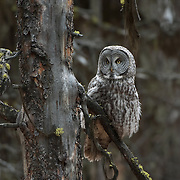Great Gray Owl (Strix nebulosa) hunting near the south entrance of Yellowstone National Park, Wyoming during the fall season.