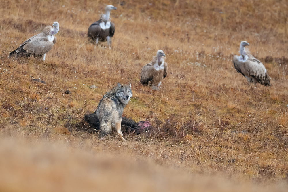 """Tibetan wolf, Canis lupus filchneri, scavenging on a Snow-leopard-killed Yak calf, with Himalayan griffon vultures, Gyps himalayensis, waiting for their turn, Angsai nature reserve, """"Valley of the Cats"""", Tibetan Plateau, Qinghai, China"""