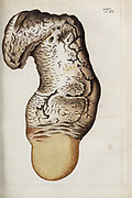 hand painted Botanical illustration of flower details leafs and plant from Miscellanea Austriaca ad botanicam, chemiam, et historiam naturalem spectantia, cum figuris partim coloratis. Vol. I  by Nicolai Josephi Jacquin Published 1778. Figure 21