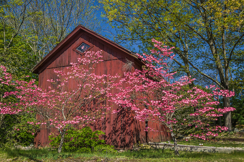 Weathered red barn and Red flowering Dogwoods, spring greens, Mystic, CT