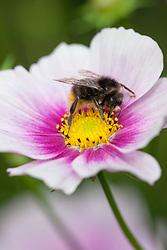 Bee on Cosmos bipinnatus 'Daydream'