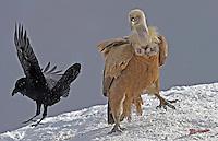 Griffon vulture; Gyps fulvus; Raven; Corvus corax, Cebollar, Torla, Aragon, Spain.