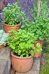 Collection of mints in pots. Mentha x piperita f. citrata (Eau de cologne mint), Mentha spicata 'Moroccan Mint' (Moroccan mint), Mentha x piperita f. citrata 'Chocolate' (Chocolate peppermint)