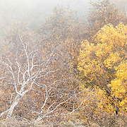 Mixed vegitation in the mist with Birch trees in autumn