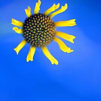 USA, California, San Diego. Spring wildflower daisy against sky.