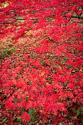 Acer palmatum 'Trompenburg' AGM - Japanese maple