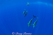 rough-toothed dolphins ( Steno bredanensis ), Kona, Hawaii ( Central Pacific Ocean )
