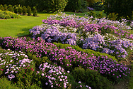 Rows of different varieties of Asters in the herbaceous nursery stock beds at Waterperry Gardens, Waterperry, Wheatley, Oxfordshire, UK