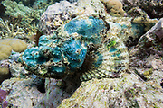 Green smallscale scorpionfish (Scorpaenopsis oxycephalus) on tropical coral reef - Agincourt reef, Great Barrier Reef, Queensland, Australia. <br />