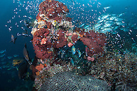 """Profusion of Reef Fishes<br /> <br /> Shot at Cape Kri, Raja Ampat Islands, W. Papua Province, Indonesia<br /> <br /> Cape Kri is one of the """"fishiest"""" dives in the world.  Given its protection in the Raja Ampat Marine Protected Area, as well as its proximity to a resort that does a great job of """"policing"""" the adjacent areas, this reef is among the healthiest in the Coral Triangle."""
