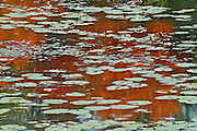 Water lilies in pong with autumn colorded reflections<br /> near Killbear Provincial Park<br /> Ontario<br /> Canada