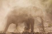 A desert elephant (Loxodonta africana cyclotis) walking through a sand storm in the Hoanib river, Skeleton Coast, Namibia