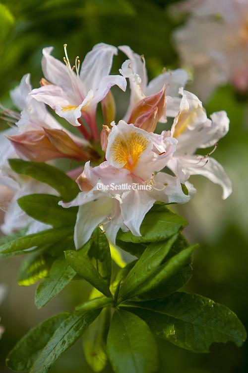 A fragrant Exbury azalea. (Mike Siegel / The Seattle Times)