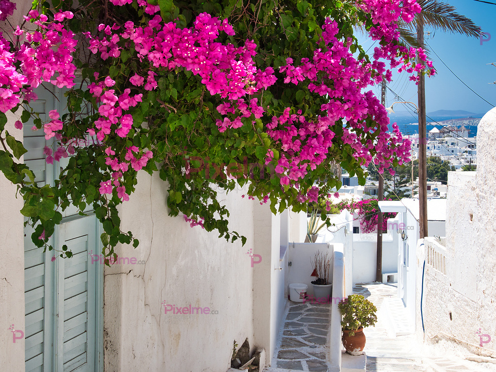Green branches with bright flowers hanging from wall of white house on street of city on Mykonos Island on sunny day in Greece
